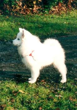 american eskimo dog breeders USA