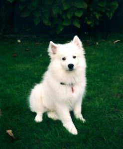 Breeders American Eskimo Dog Breeders In Canada And Usa